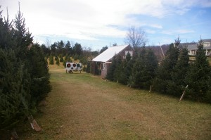 Xmas trees and shed